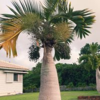 トックリヤシの花言葉|意味や由来、風水の効果は?の画像