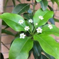 ソヨゴの花言葉|花や実の特徴、シンボルツリーにおすすめ!の画像