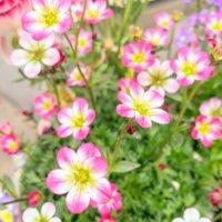クモマグサの花言葉|花の特徴や代表的な種類は?の画像