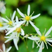 ダイモンジソウの花言葉|花の特徴や意味、代表的な種類は?の画像