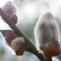 ネコヤナギの花言葉|花の特徴や意味、アレンジメントでも人気!の画像
