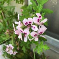 ハーブゼラニウムの花言葉|花の特徴や香り、虫よけになるハーブの画像