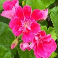 アイビーゼラニウムの花言葉|意味や花の特徴、ハンギングがおすすめ!の画像