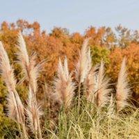パンパスグラスの育て方|植え付け時期や方法、収穫はいつ?の画像