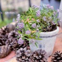冬のガーデニングにおすすめ!花壇に植えたい寒さに強い花10選の画像