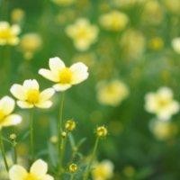 ウインターコスモスの花言葉|コスモスとの違いや、種類などもご紹介の画像