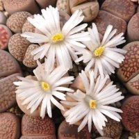 リトープスの花言葉|意味や人気の種類、花は咲くの?の画像