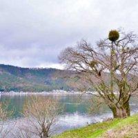 ヤドリギ(宿り木)の花言葉|意味や由来、実の特徴とは?の画像