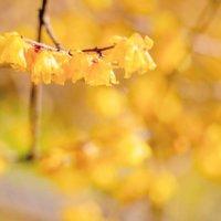 ロウバイ(蝋梅)の花言葉|花の香りや実の特徴、種類はあるの?の画像