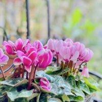11月の誕生花|日にちごとの花の一覧や花言葉、フラワーギフトにもおすすめ?の画像