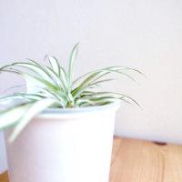 オリヅルラン(折鶴蘭)の花言葉|意味や花の特徴、種類はどのくらい?の画像