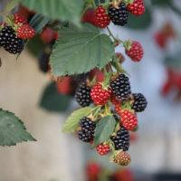 ブラックベリーの花言葉|花や実の特徴、効能は?の画像