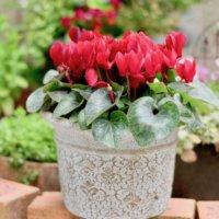 シクラメンをキレイに咲かせるコツ!正しい水やりと葉組みのやり方とは?の画像