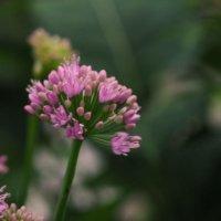 アリウムの花言葉|由来や花の種類、見頃の季節は?の画像
