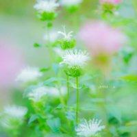 ベルガモット(モダルナ)の花言葉|香りや花の特徴、ハーブとしての効能は?の画像