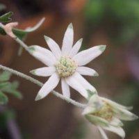 フランネルフラワーの花言葉|由来や花の種類、切り花を楽しもう!の画像