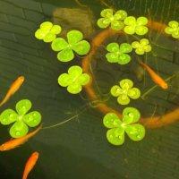ウォータークローバーの花言葉 由来や葉の特徴、ムチカなどの種類は?の画像