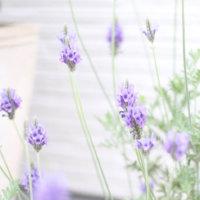 レースラベンダーの花言葉|由来や花の種類、香りはある?の画像