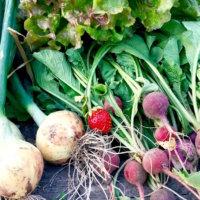 冬植え・冬まき野菜|プランターでも育てやすい種類12選の画像