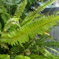 タマシダの花言葉|由来や種類、花は咲かせるの?の画像