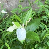 ハンゲショウ(半夏生)の花言葉|由来や花の特徴、茶花としても有名?の画像
