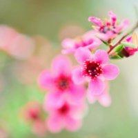 ギョリュウバイの花言葉|花や葉の特徴、梅に似ている?の画像