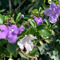 ニオイバンマツリの花言葉|花の特徴は?香りは夜に強くなる?の画像