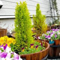 ゴールドクレストの育て方|鉢植えなら室内でも育てられる?枯れる原因は?の画像
