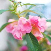 ホウセンカ(鳳仙花)の花言葉|色別の意味は?種類・品種、花の特徴は?の画像