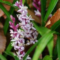 キチジョウソウ(吉祥草)の花言葉|意味や花の種類、実の特徴は?の画像