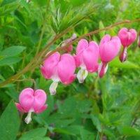 ケマンソウの花言葉|意味や花の種類、毒性がある?の画像