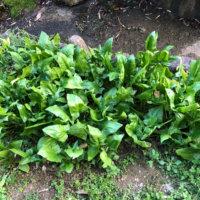 ほうれん草の花言葉|花の特徴や種類、栄養は?の画像