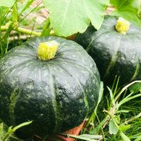 カボチャの育て方|プランター栽培もできる?受粉や実を甘くするコツは?の画像