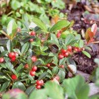 チェッカーベリーの花言葉|花や実の特徴、寄せ植えなどの楽しみ方は?の画像