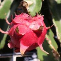 ドラゴンフルーツの花言葉|実の味や栄養、花の特徴や種類は?の画像