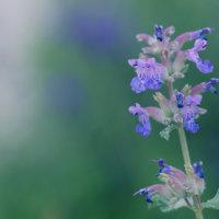 キャットミントの花言葉|効能や花の特徴、猫とは関係あるの?の画像