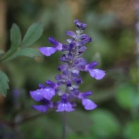 ブルーサルビアの花言葉|花の特徴や由来、寄せ植えにおすすめ!の画像