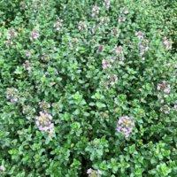 レモンタイムの花言葉|花の香りや由来、ハーブとしての効能は?の画像