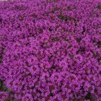 クリーピングタイムの花言葉|花の由来やハーブとしての効能は?の画像
