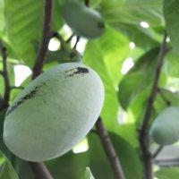 ポポーの花言葉|実の特徴や栄養、どんな味がする果物?の画像