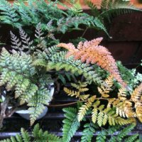 シノブの花言葉|由来や種類、観葉植物におすすめ?の画像