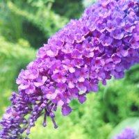 ブッドレアの花言葉|意味や色別の種類、花の特徴は?の画像