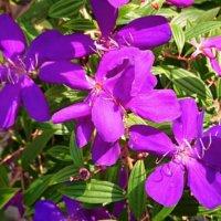 ノボタン(野牡丹)の花言葉|意味や特徴、花の季節は?の画像