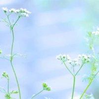 パクチー(コリアンダー)の花言葉|由来や種類、花の特徴は?の画像