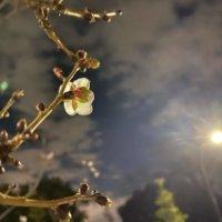 冬桜の花言葉|種類や花の特徴、名所はどこ?の画像