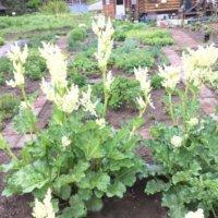 ルバーブの花言葉 栄養や効能、毒性やジャムにて食べられる?の画像