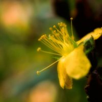 弟切草(オトギリソウ)の花言葉|名前の由来は?怖い意味の花言葉もあるの?の画像