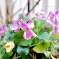 ニオイスミレの花言葉|由来や花の特徴、どんな香り?の画像