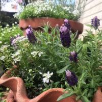 フレンチラベンダーの花言葉|意味や由来、花の香りや効能は?の画像