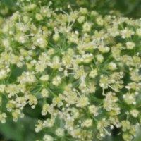パセリの花言葉|花の特徴や種類、効能や怖い意味は?の画像